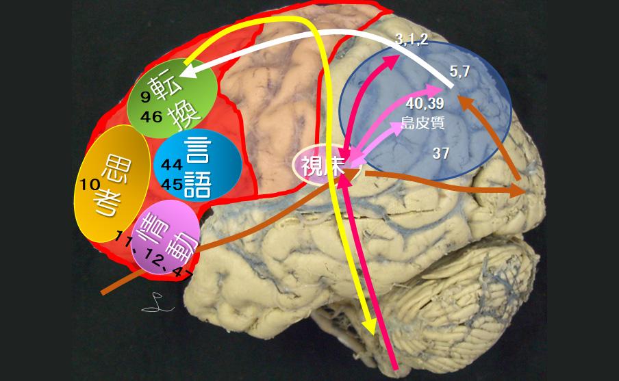 図2 認知・姿勢制御に関わる視床と頭頂葉・前頭葉における連関