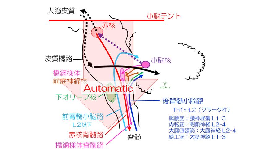図5 小脳の線維連絡